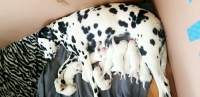 Dalmatian Dogs and Puppies for Adoption