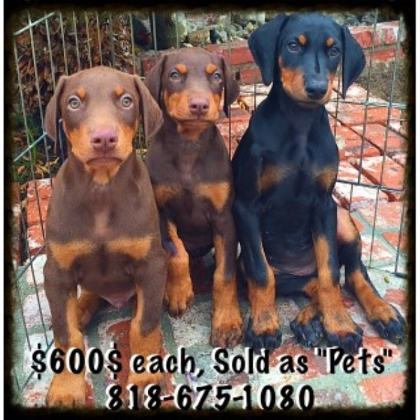 Doberman Pinschers In Los Angeles
