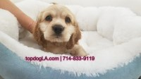American Cocker Spaniel Dogs and Puppies for Adoption