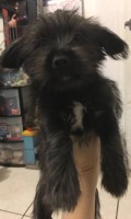 male puppy terrier york Yorkshire Terrier for sale/adoption