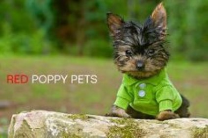 Yorkshire Terrier puppy dog for sale in Crane Hill, Alabama