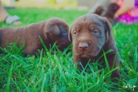 AKC Chocolate Labrador Retriever Puppies With Champion Bloodlines Labrador Retriever for sale/adoption