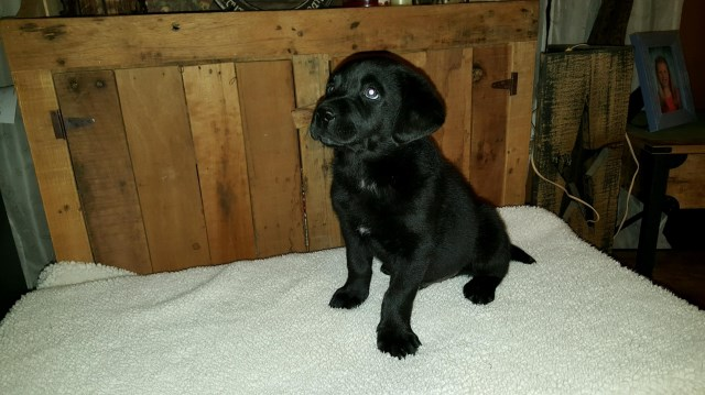 Labrador Retriever puppy for sale + 47734