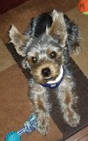Male Yorkie puppy Yorkshire Terrier for sale/adoption