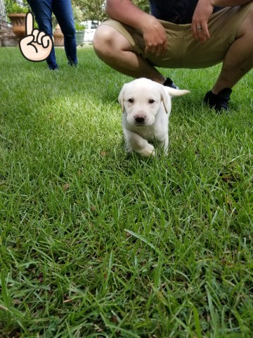 **6 Week Old Yellow Lab Puppies**