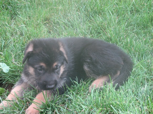 German Shepherd Dog Puppy Dog For Sale In Nampa Idaho