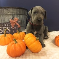 "Top Quality AKC Great Dane Puppies ""Blues & Blue Harlequin "" Great Dane for sale/adoption"
