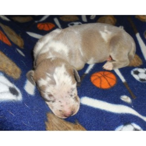 Great Dane Puppies Health Guarantee Great Dane for sale/adoption