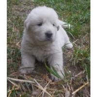 Great Pyrenees Puppy (all White) Great Pyrenees for sale/adoption