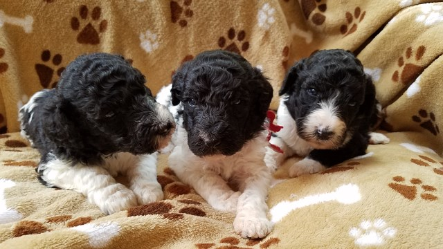 Poodle Standard puppy dog for sale in rockwell, North Carolina
