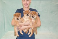Shiba Inu Dogs and Puppies for Adoption