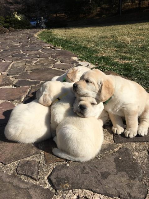 Registered Lab puppies (light yellow  to white)