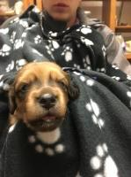 AKC LH English Cream Dachshund Puppies Dachshund for sale/adoption