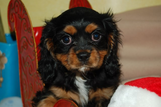 Cavalier King Charles Spaniel puppy dog for sale in