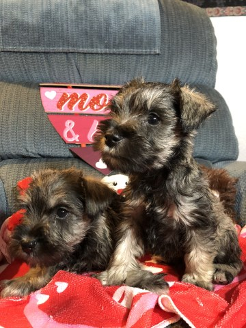 Miniature Schnauzer Puppy Dog For Sale In Modesto California