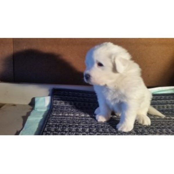 All White AKC Great Pyrenees Puppy