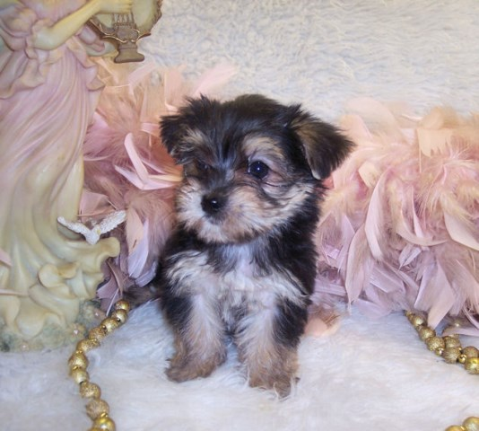 Morkie puppy dog for sale in Silver Creek, Mississippi