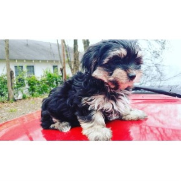 Shorkie Pup For Sale