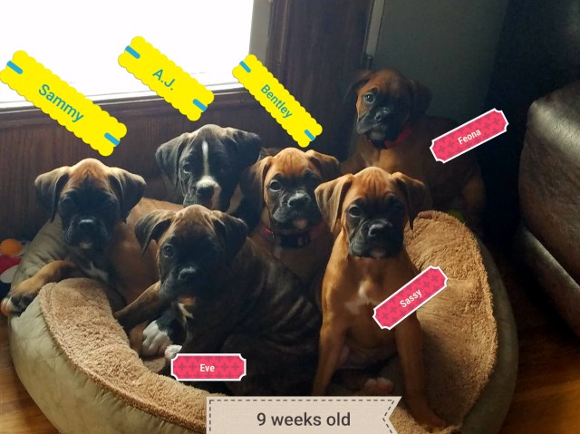 Boxer puppy for sale + 51462