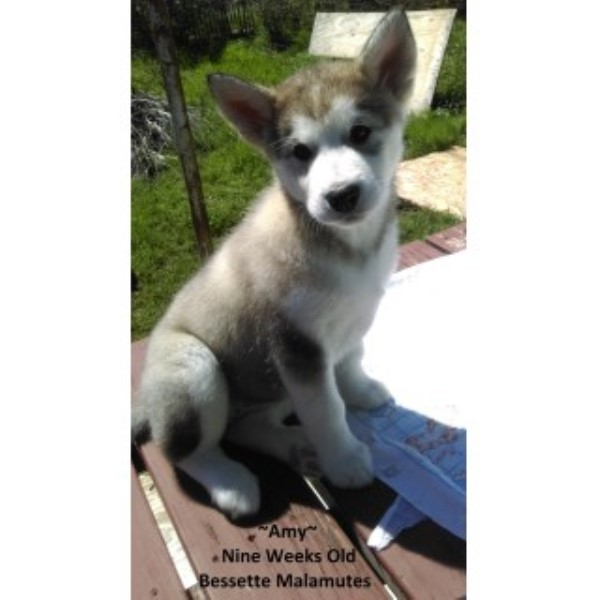 alaskan malamute puppies for adoption in texas