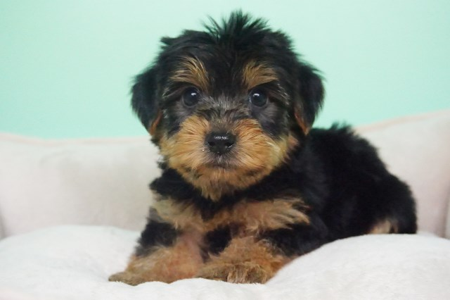 Yorkshire Terrier puppy for sale + 54306