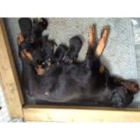 C.k.c. Rottweiler Puppys Rottweiler for sale/adoption