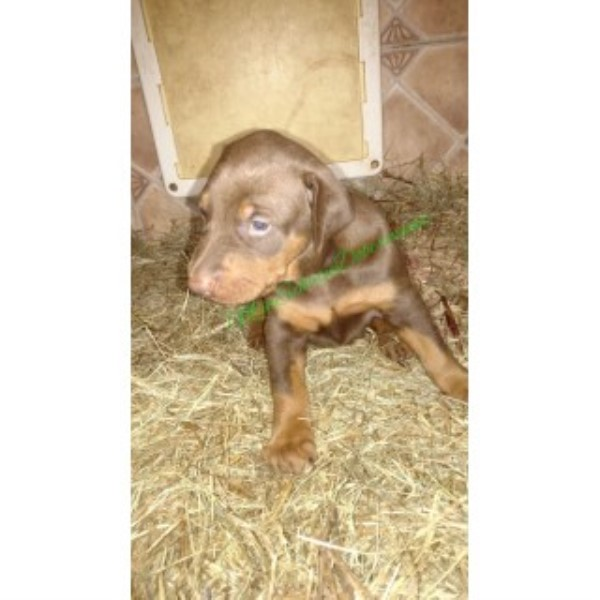 AKC Red/rust Female Doberman