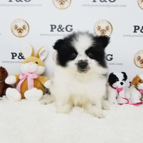Pomeranian puppy for sale + 53672