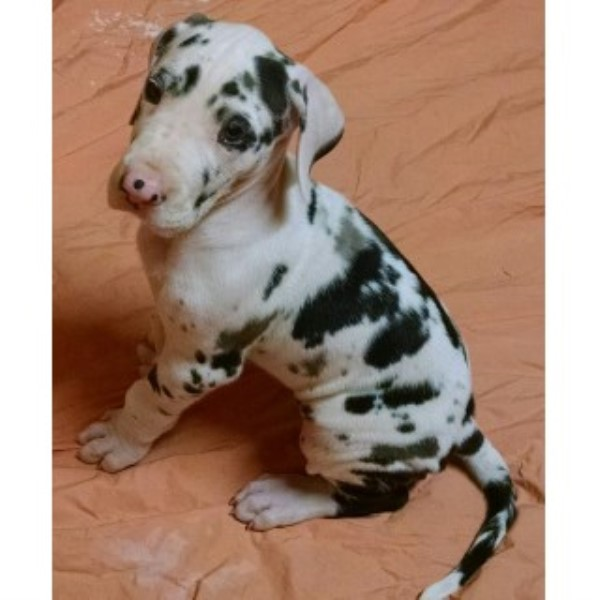 Great Dane Puppies And Dogs For Sale And Adoption Page 1
