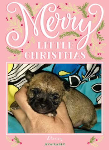 Tiny Shih Chi Adorable Teddy Bear Puppies