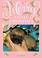 Tiny Shih Chi Adorable Teddy Bear Puppies Chihuahua for sale/adoption
