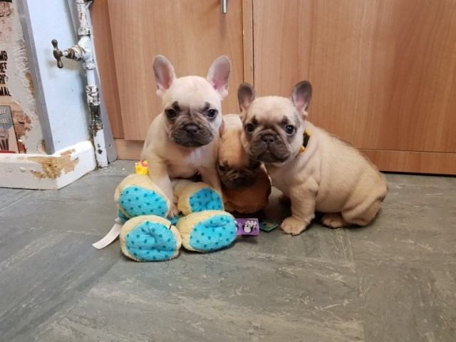 French Bulldog Puppy Dog For Sale In Dayton Ohio
