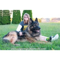 Shiloh Shepherd Dogs and Puppies for Adoption