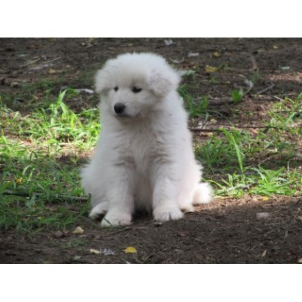 Samoyed Breeders in Indiana | FreeDogListings