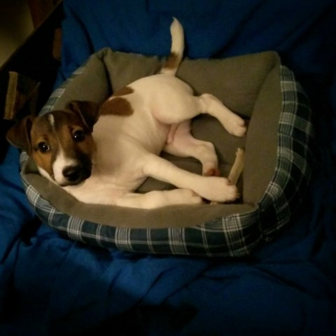 Ranger-Gorgeous Jack Russell Puppy-Pick of the Litter