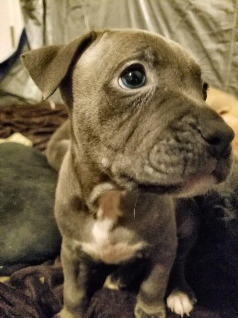 Pitbull Puppies For Sale Memphis Tn | NAR Media Kit