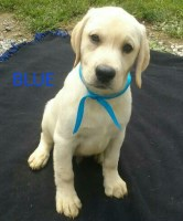 Search Locally For Labrador Retriever Puppies And Dogs Nearest You Page 1 Freedoglisting