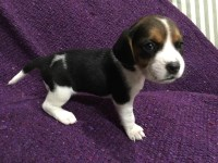 Purebred AKC Papered Beagle Puppies Beagle for sale/adoption