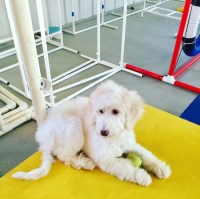 Labradoodle puppy Labradoodle for sale/adoption