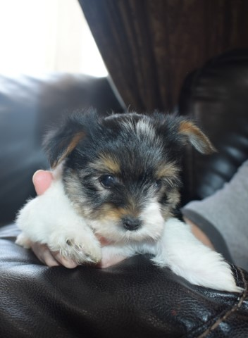 Yorkshire Terrier puppy for sale + 61494
