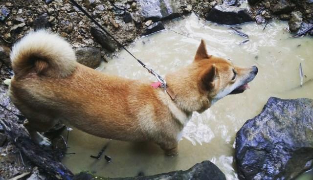 Shiba Inu Puppy Dog For Sale In Logan Ohio