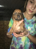 Adorable Bloodhound Puppies Bloodhound for sale/adoption