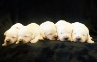 AKC English Cream Golden Puppies Golden Retriever for sale/adoption