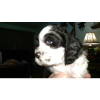 New Litter Of 6 American Cocker Spaniels American Cocker Spaniel for sale/adoption