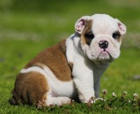 Big Chunky Pup Kc Bulldog-show Quality *ready* English Bulldog for sale/adoption