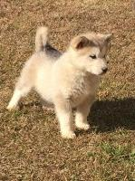 AKC Alaskan Malamute Puppies Alaskan Malamute for sale/adoption
