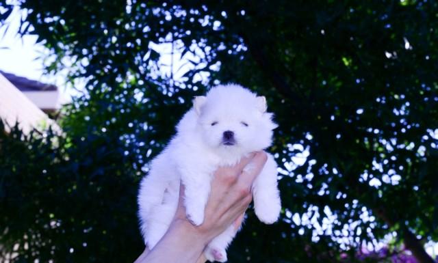 Pomeranian puppy dog for sale in Minnesota USA