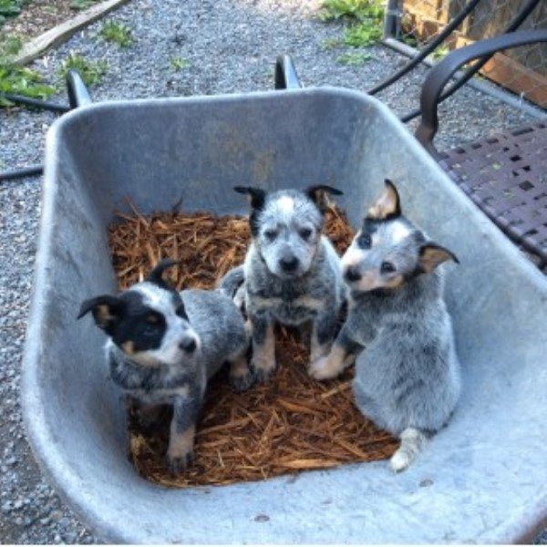 Blue Tri-color Heeler Australian Cattle Dog Puppies Australian Cattle Dog for sale/adoption
