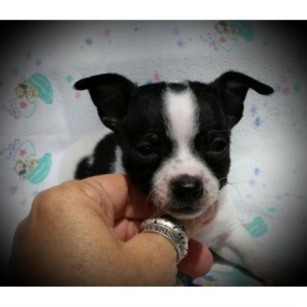 Cute CKC Smoothcoat Male Chihuahua Puppy Chihuahua for sale/adoption