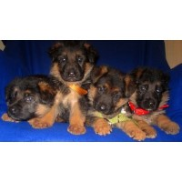 100% West German Black/deep Red Puppies !!! German Shepherd Dog for sale/adoption